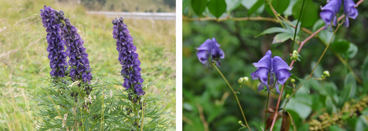 Examples of Aconitum