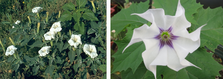 Examples of Jimson Weed