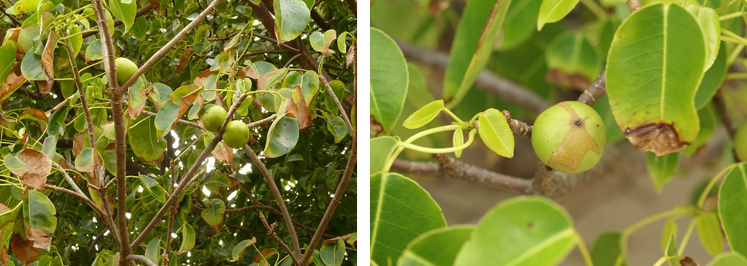 Examples of the Manchineel