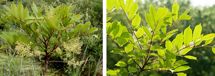 Examples of the Poison Sumac