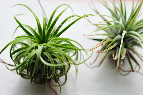 air_plants_tabletop_flickr_msk