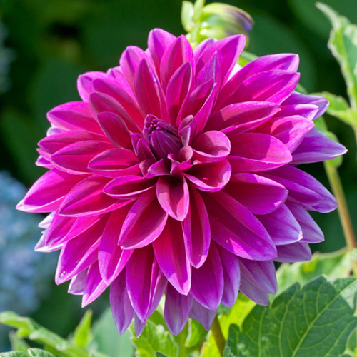 Dahlia flower photo art print for interior design