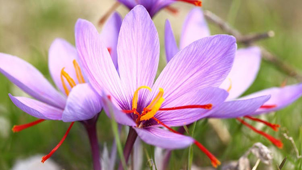 Saffron crocus- expensive flowers